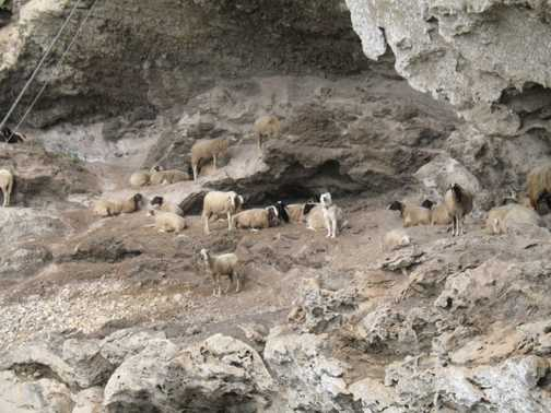 goats on the walk of gods
