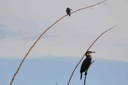 Comerant & Pied Kingfisher