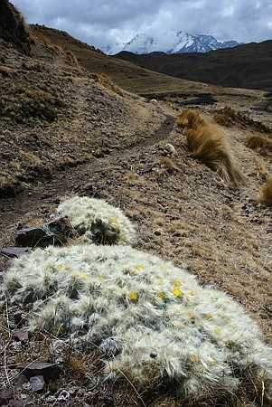 Cacti on the high plateau