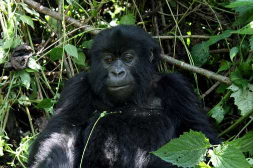 Young gorilla & baby - Parc National des Volcans