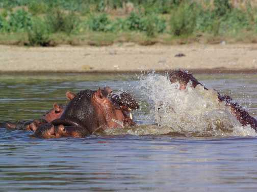 Hippos in Lake Naivasha, Kenya