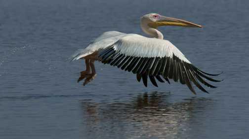Great White Pelican, Lake Nakuru, Kenya