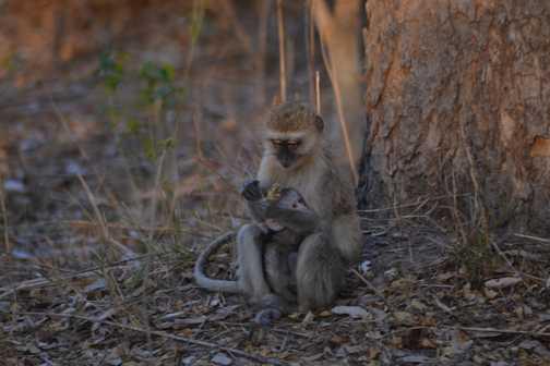 Vervet Mum and Baby