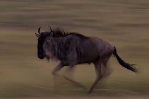 Slowpan wildebeest