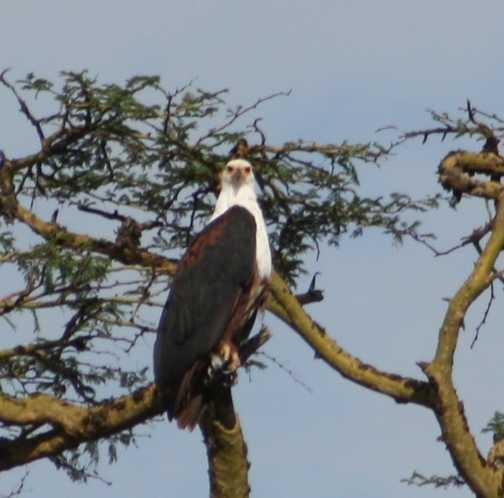 Fish Eagle, Lake Elementiata