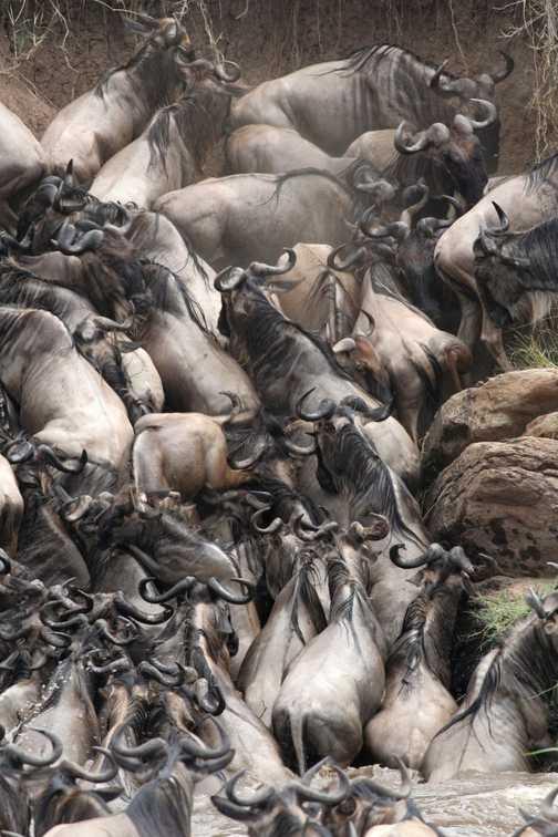 Wildebeeste at Cul de Sac on the Mara River