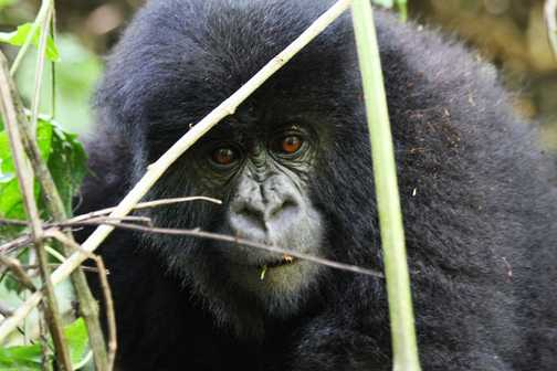 Susa Group Mountain Gorilla