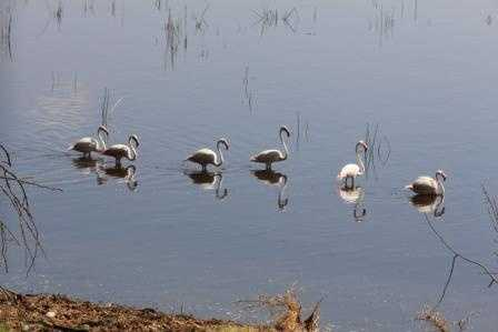 single file - Flamingoes