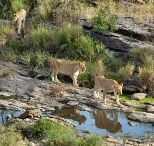 Lions crossing the river