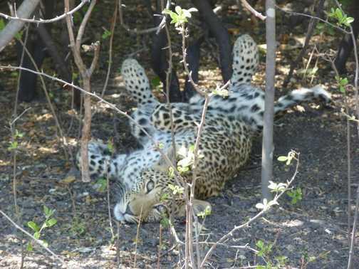 Cute leopard cub