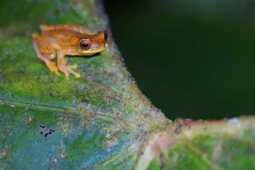 Red-eyed Tree Frog on night walk at Esquinas Rainforest Lodge