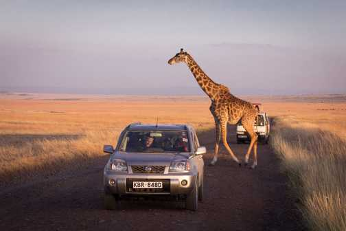 Giraffe crossing a safari path - Masai Mara