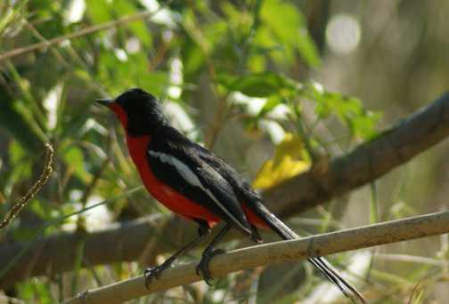 Crimson breasted bush shrike