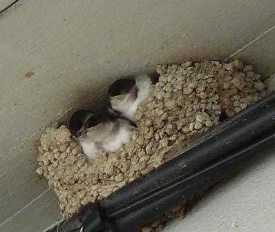 House martins in Ax