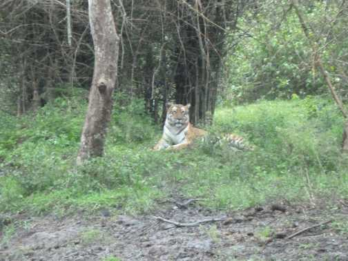 Tiger in Bandipur