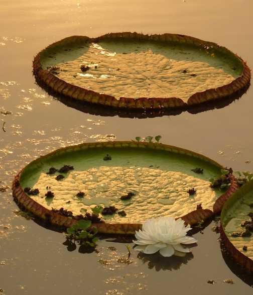 Sunset lily pads