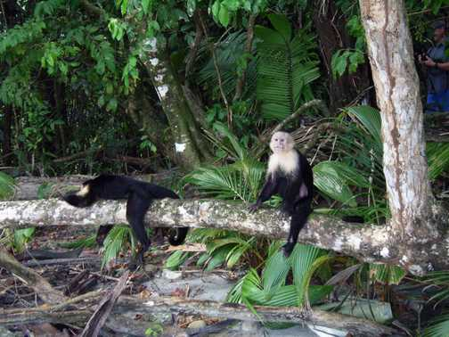 Innocent Looking monkeys. White-throat Capuchins