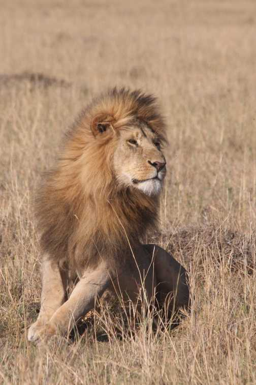 A proud male lion shows off his mane