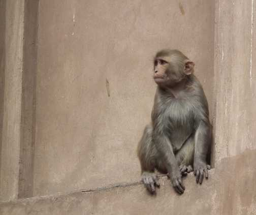 monkey at agra fort