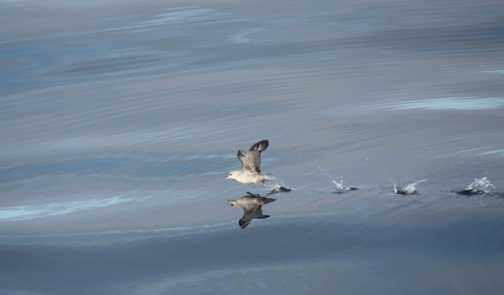 Fulmar taking off