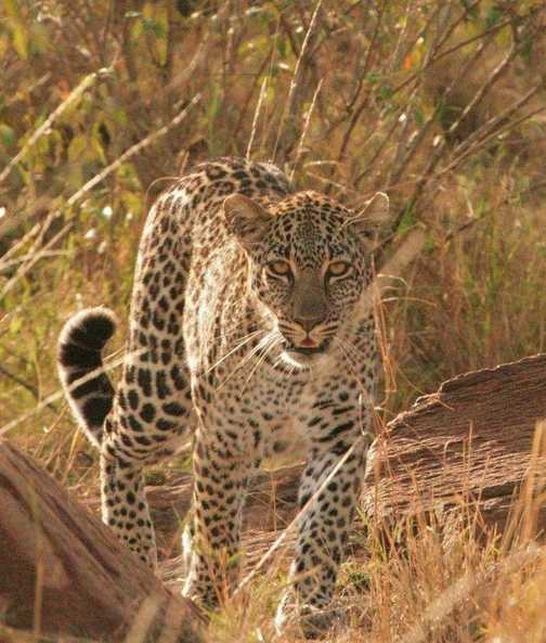 Patrolling a dry watercourse in the Masai Mara.