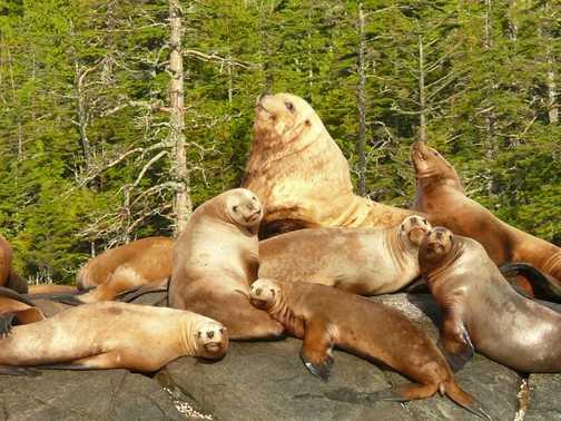Sea Lion Hareem