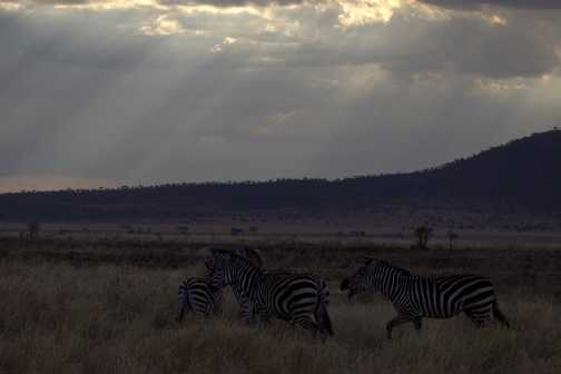 Elephant - Serengeti NP