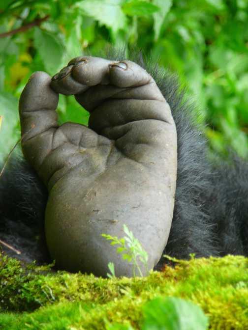 Gorilla's foot, Amahoro group.