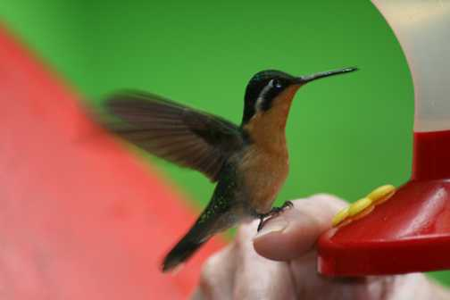 One of the many varieties of humming birds feeding on sugar water