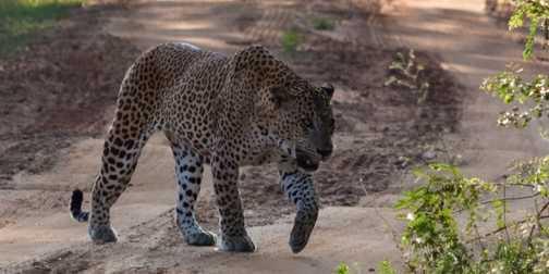 Leaopard male 3
