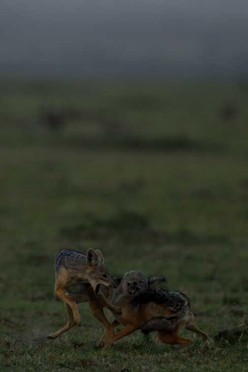 Jackals fighting