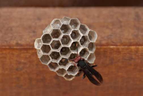 Wasp & grubs