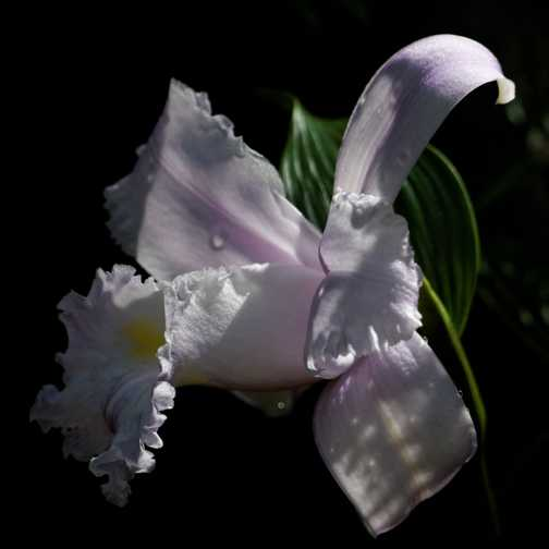 Orchid, slopes of Arenal Volcano