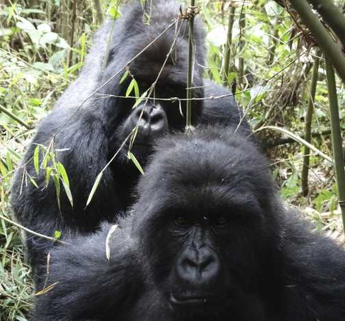 Silverback and female with young.