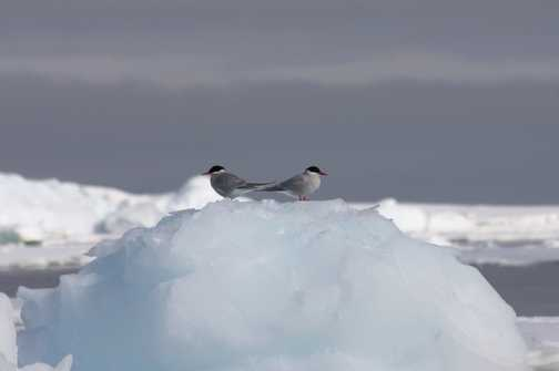 Dark-mantled Sooty Albatross: South Georgia