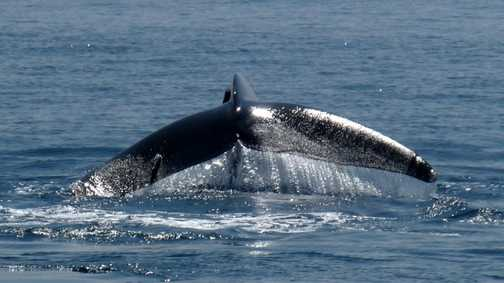 Blue Whale diving next to boat