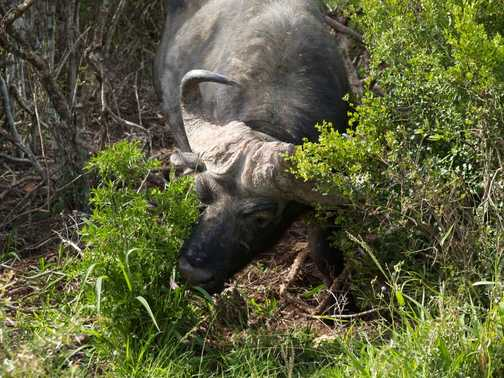 Buffalo in Addo