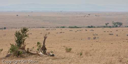 Mara panorama with cheetah