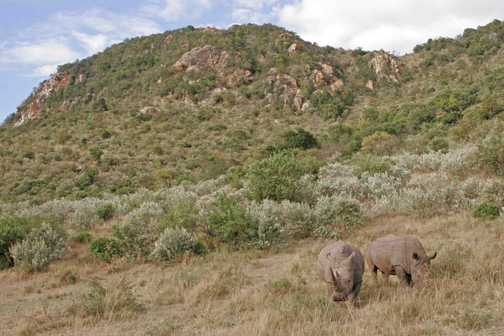 White Rhinos below Rhino Ridge
