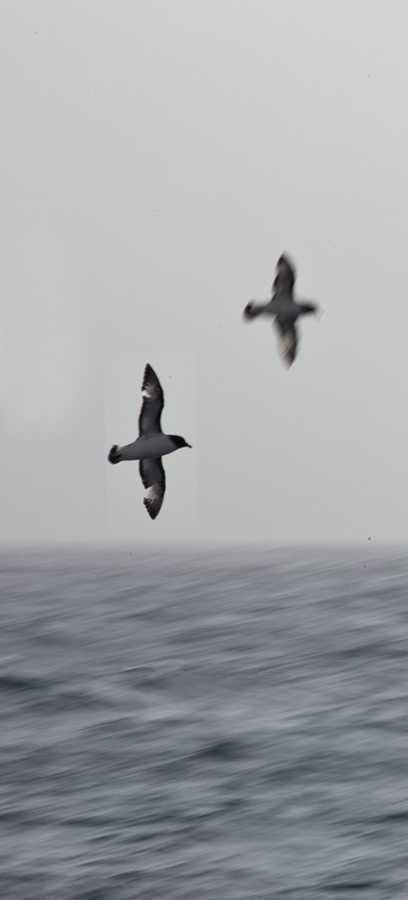 Cape Petrels in the Drake Passage