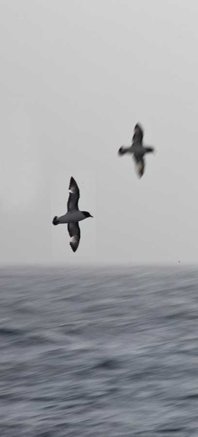 Cape Petrels in the Drake Passage