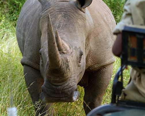 carging rhino