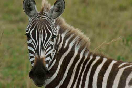 Portrait of Burchell's zebra taken in the Masai Mara