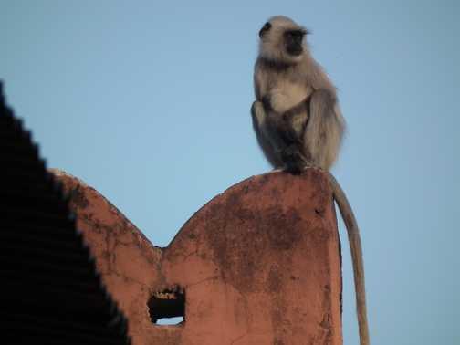 langur monkey ranthambore