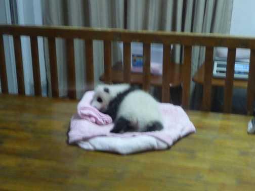 Baby panda (a bit blurry!)