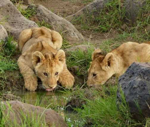 Lion cubs drinking