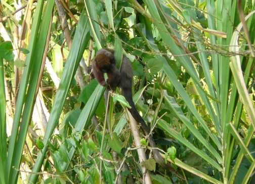 Dusky Titi Monkey - Tambopata Reserve