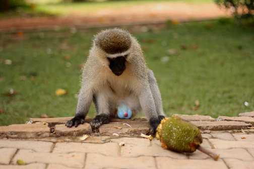 Cheeky monkeys in Entebbe