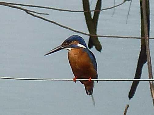 Kingfisher by lake