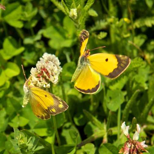 Butterflies - Clouded Yellow